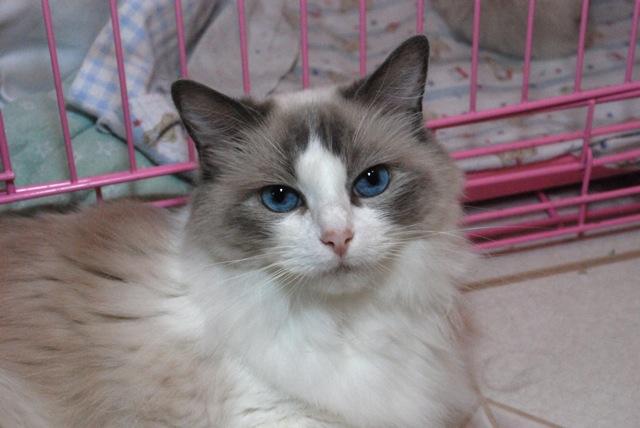 Ragdoll Cats Ragdoll Kittens by LottaRags Ragdoll Cattery - Retired