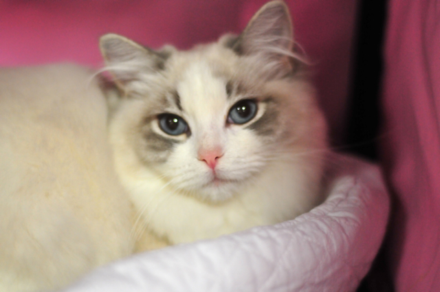 Ragdoll Cats Ragdoll Kittens by LottaRags Ragdoll Cattery - Welcome