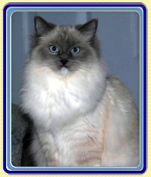 Ragdoll Cats Ragdoll Kittens by LottaRags Ragdoll Cattery - Retired